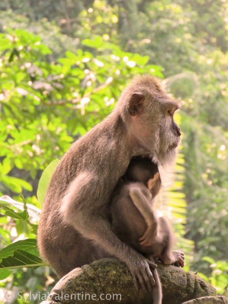 Monkey Baby Bali