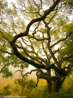 Misty Tree Heart, CA