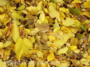 Arizona Leaves