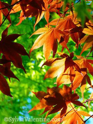 Fall Leaves, CA