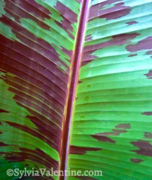 Purple Leaf  Spots