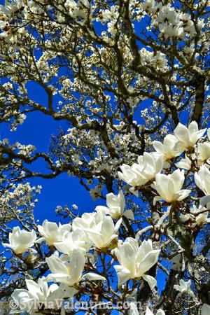 Magnolia Blue