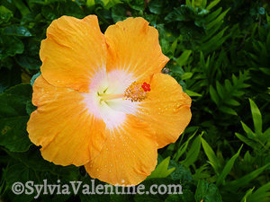 Orange Hibiscus, Kauai