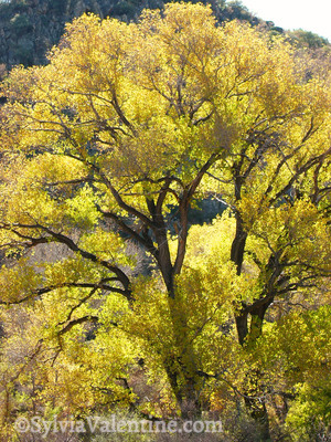 Arizona Cottonwood