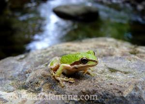 Creek Frog