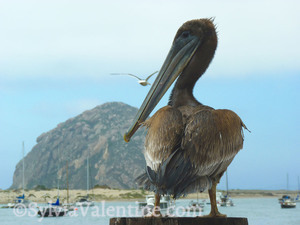 Morro Bay Pelican