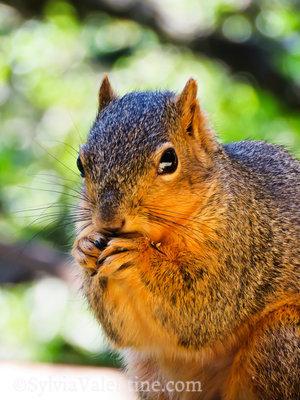 Mr. Squirrel, CA