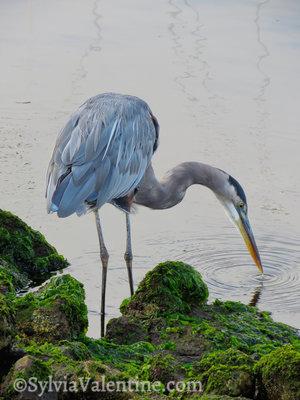 Heron Ring, CA