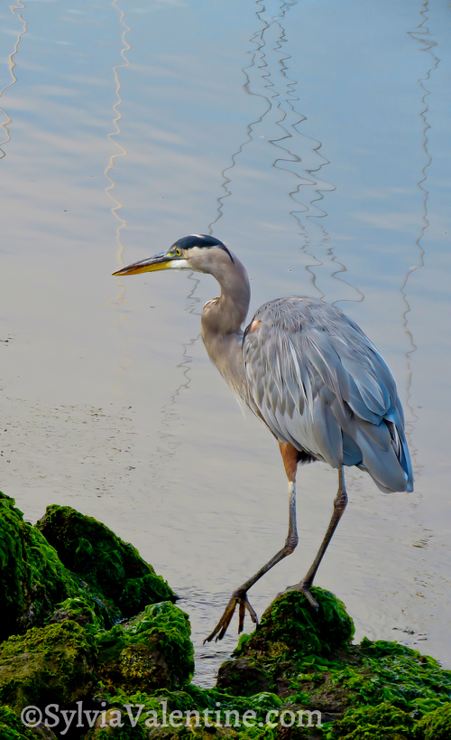 Heron Walk, CA