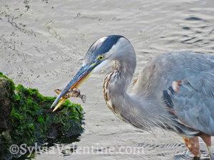 Blue Heron Catch, CA