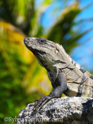 Mayan Iguana, Mexico