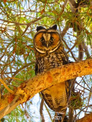 Mercy Hotsprings Owl