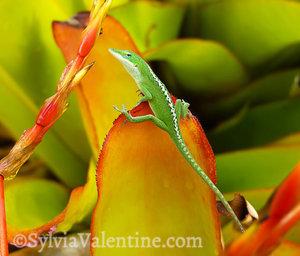 Gecko Splits, Kauai