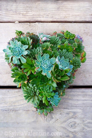 Succulent Heart (Succulent design by Robin Stockwell of Succulent Gardens)
