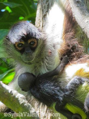 Monkey Mama, Mexico