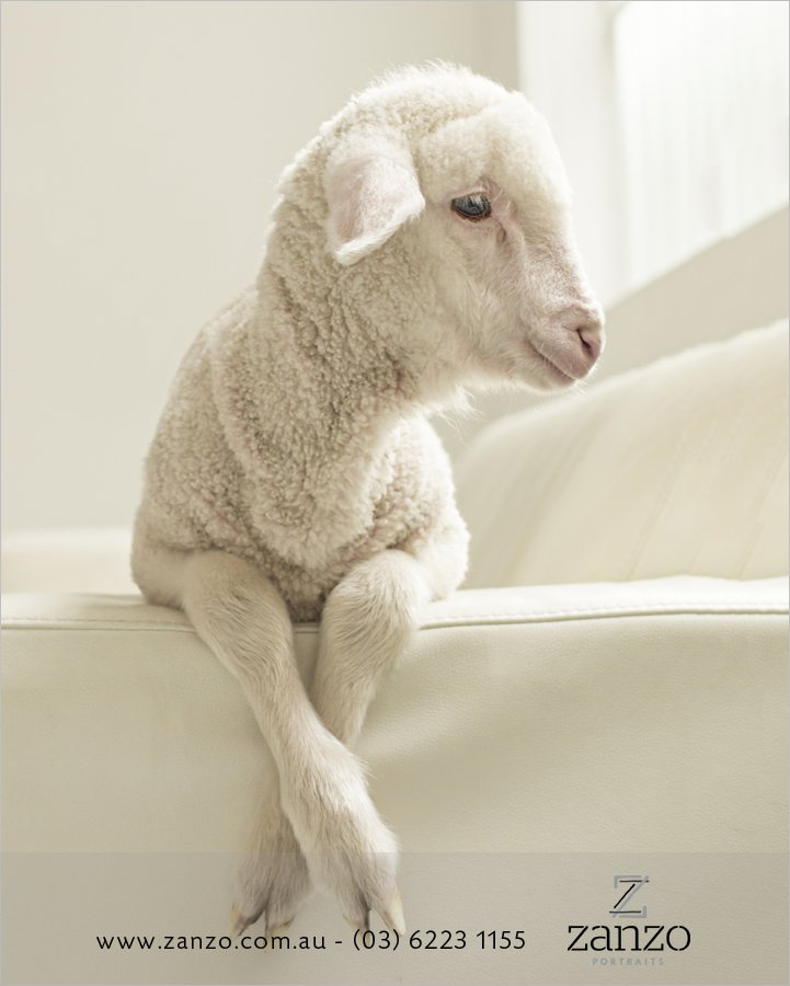 Bazza018_hobart baby photo_lamb_sheep_hobart family photography-tasmanian kids photos-portraits.jpg