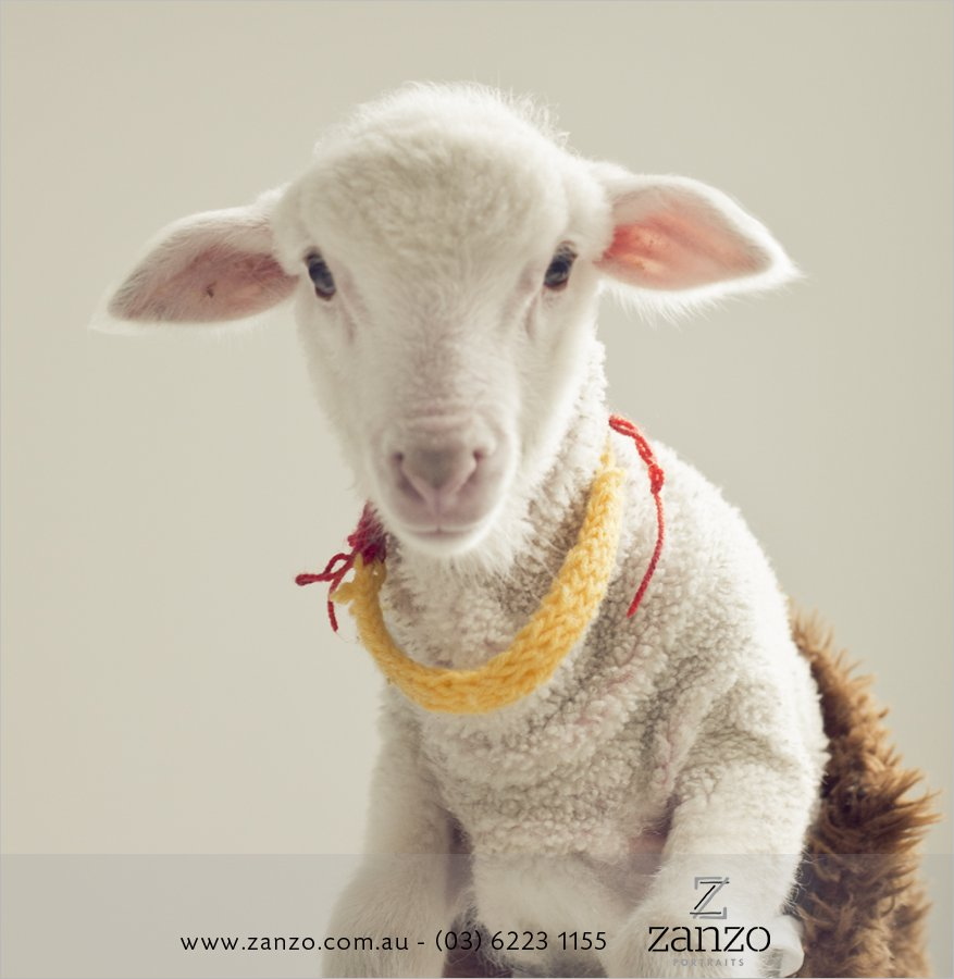 Bazza009__lamb_sheep_hobart baby photo-hobart family photography-tasmanian kids photos-portraits.jpg