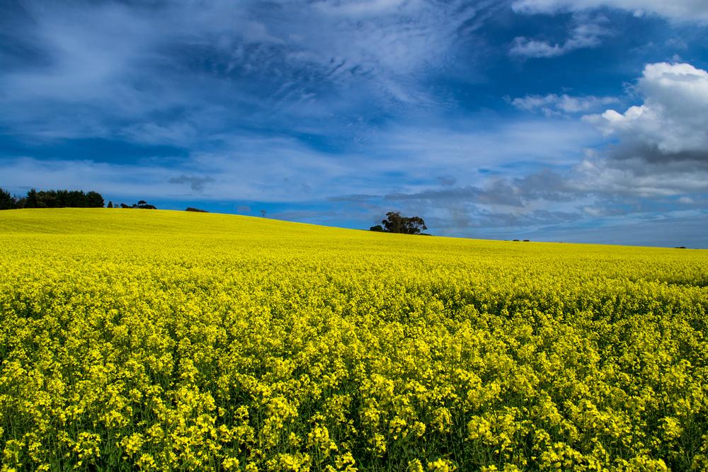 Canola field, Bellarine Peninsula, Victoria.