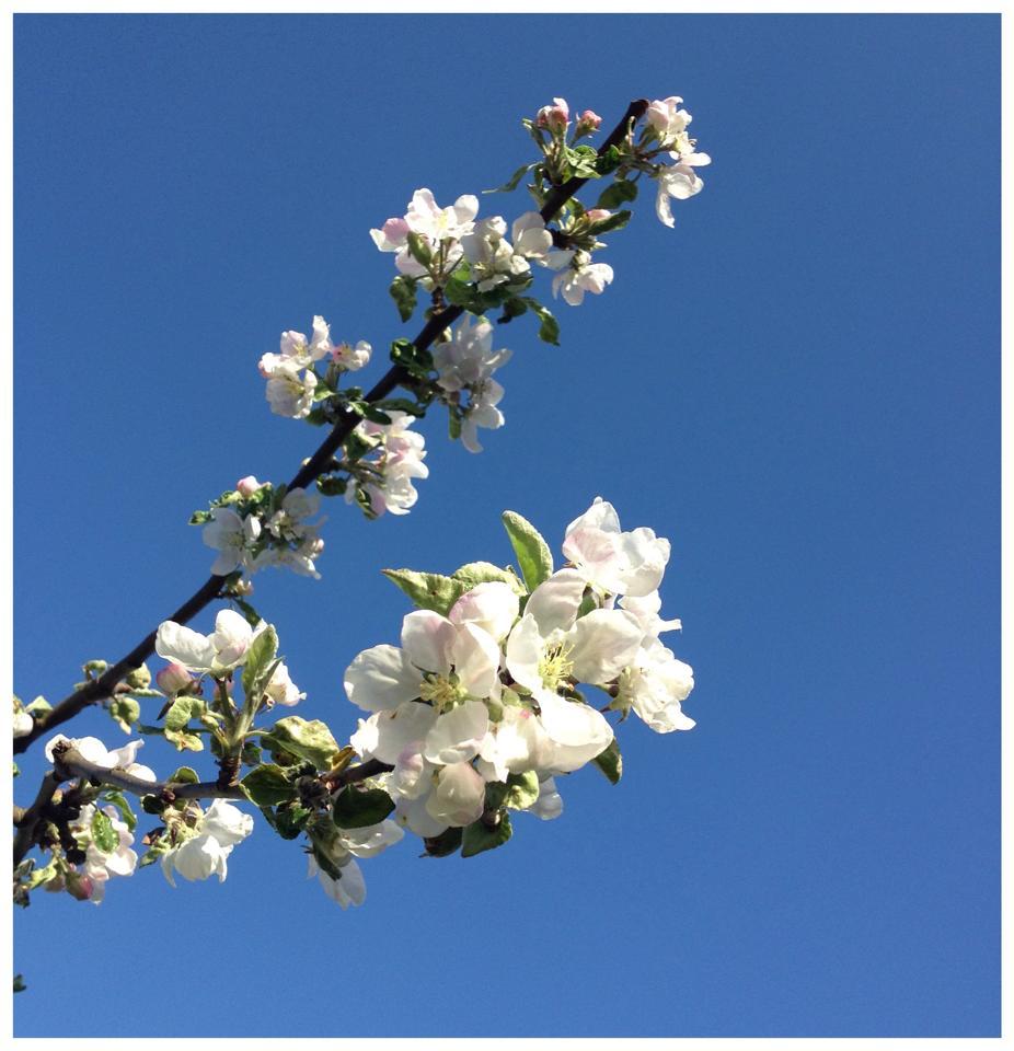 äppelblom.jpg