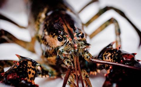 WWOW: Lobster