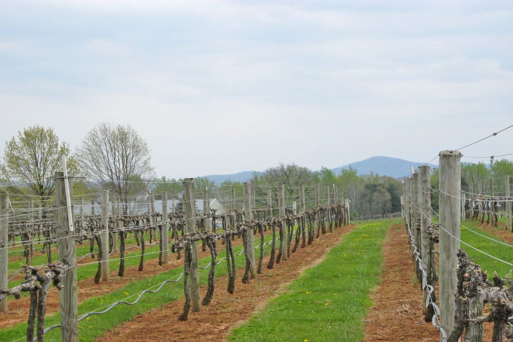 [Rows of grape vines at King Family Vineyards]