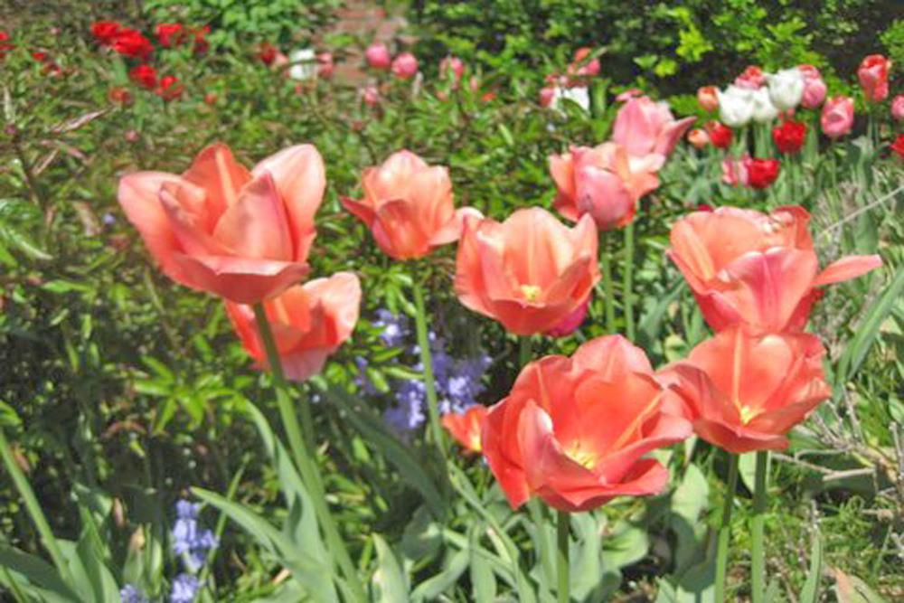 [Tulips at Morven]