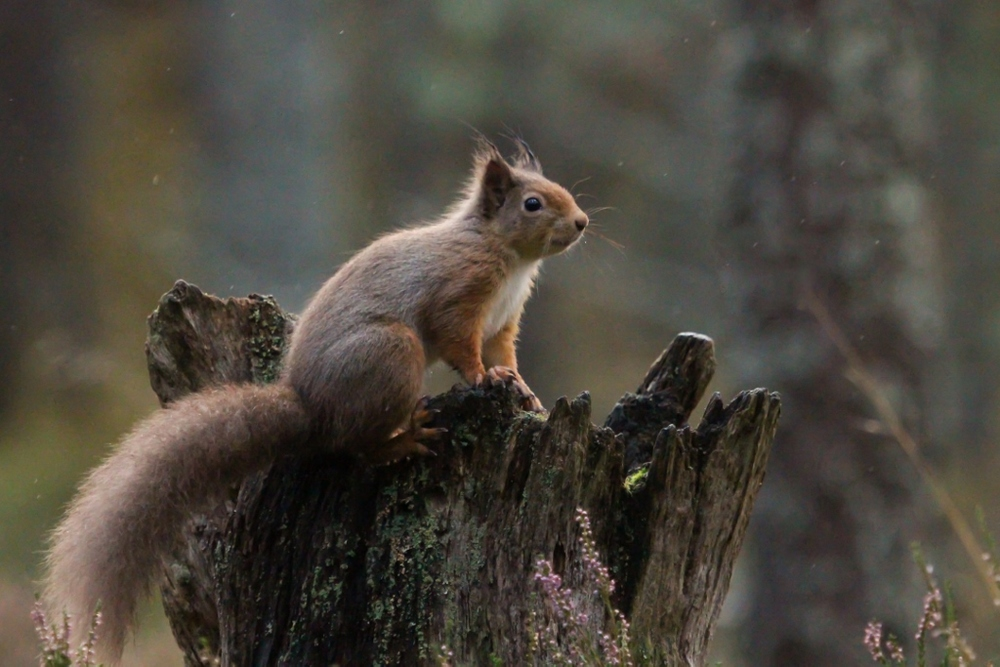 4 - Red Squirrel (1024x683).jpg