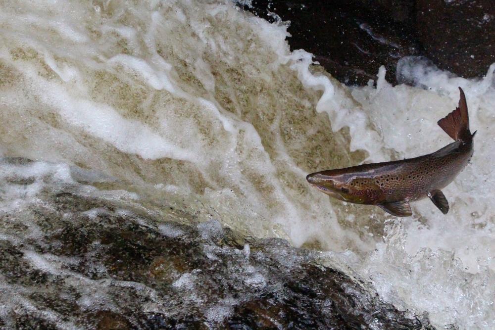 3 - Salmon Leaping (1024x683).jpg