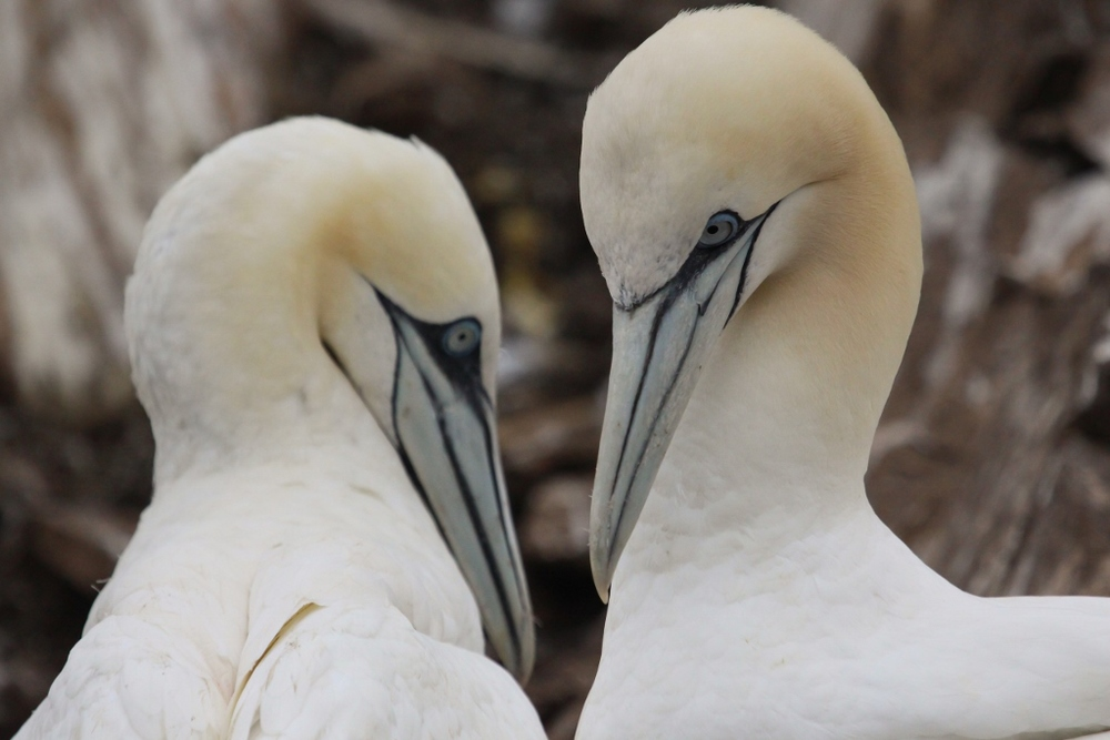 1 - Breeding Pair of Gannets (1024x683).jpg