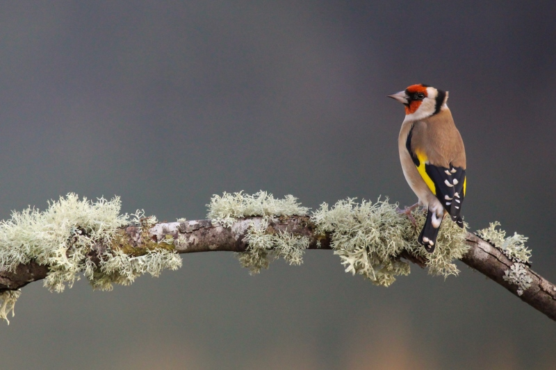 Scottish Widlife Portrait _ Goldfinch.jpg