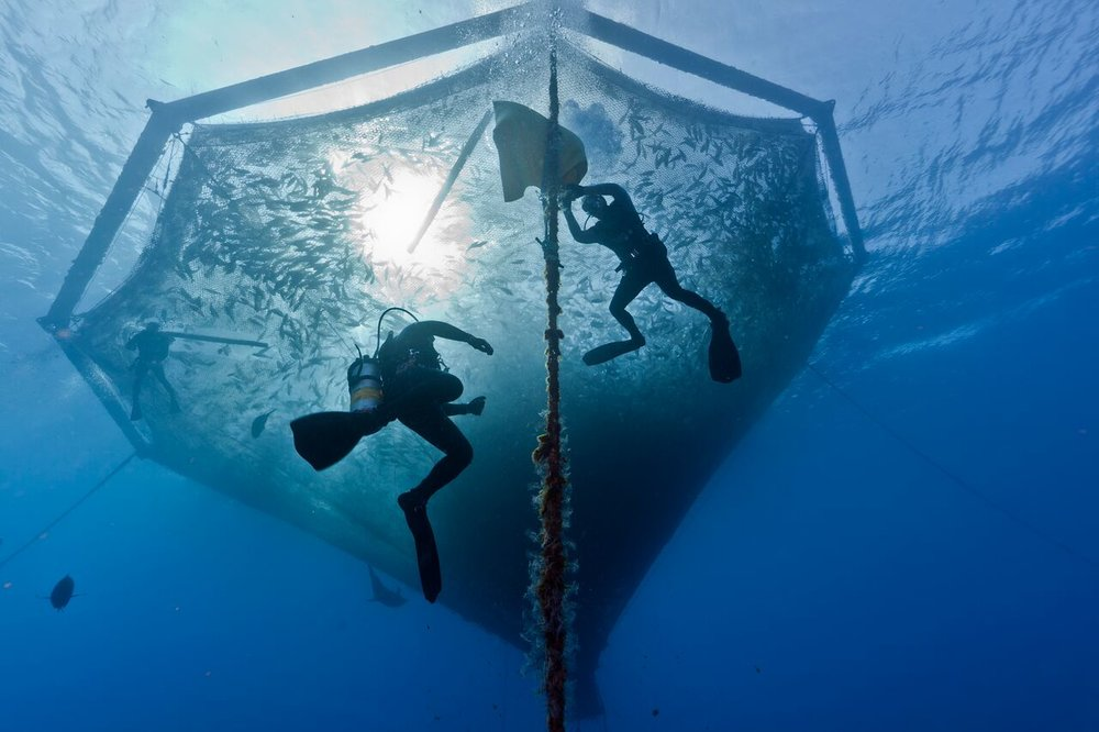 Divers cleaning the lines on one of the Hawaiian Kanpachi cages