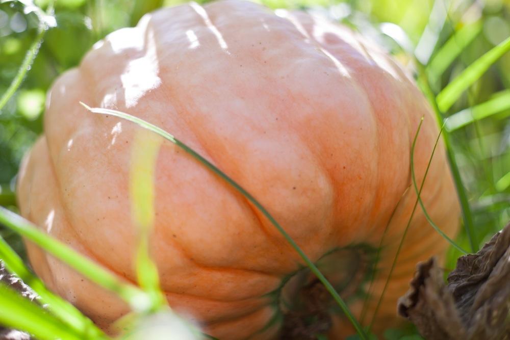 IMG_9364 Pink Pumpkin.jpeg