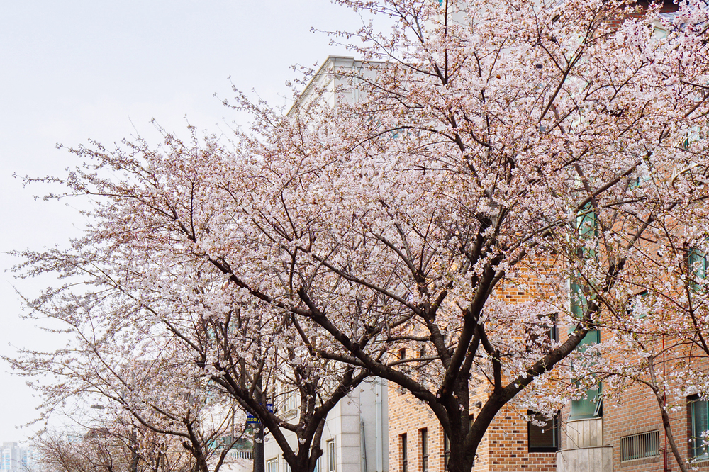 Spring in Seoul: Yeonnam-dong (연남동), Seoul, South Korea.