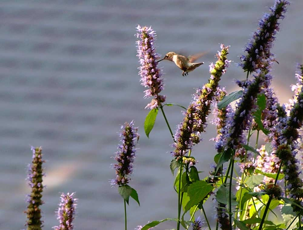Ruby-throated hummingbird sips nectar from agastache
