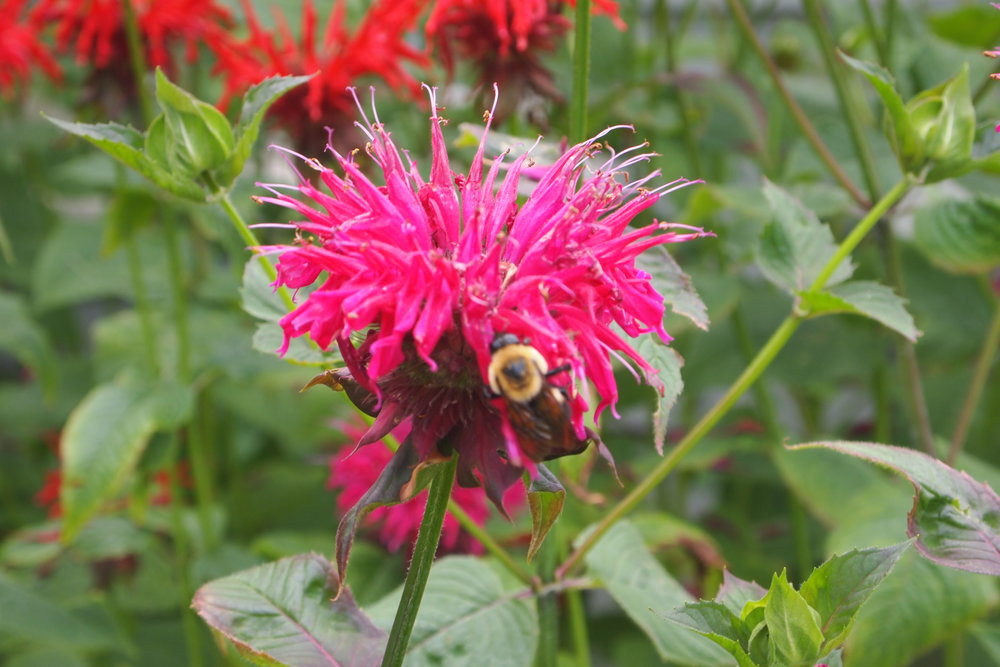 Bumble bee on raspberry wine bee balm