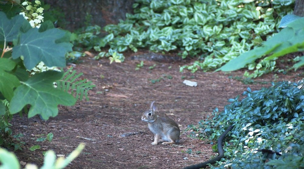 Juvenile white tail bunny hoppin' down the bunny trail