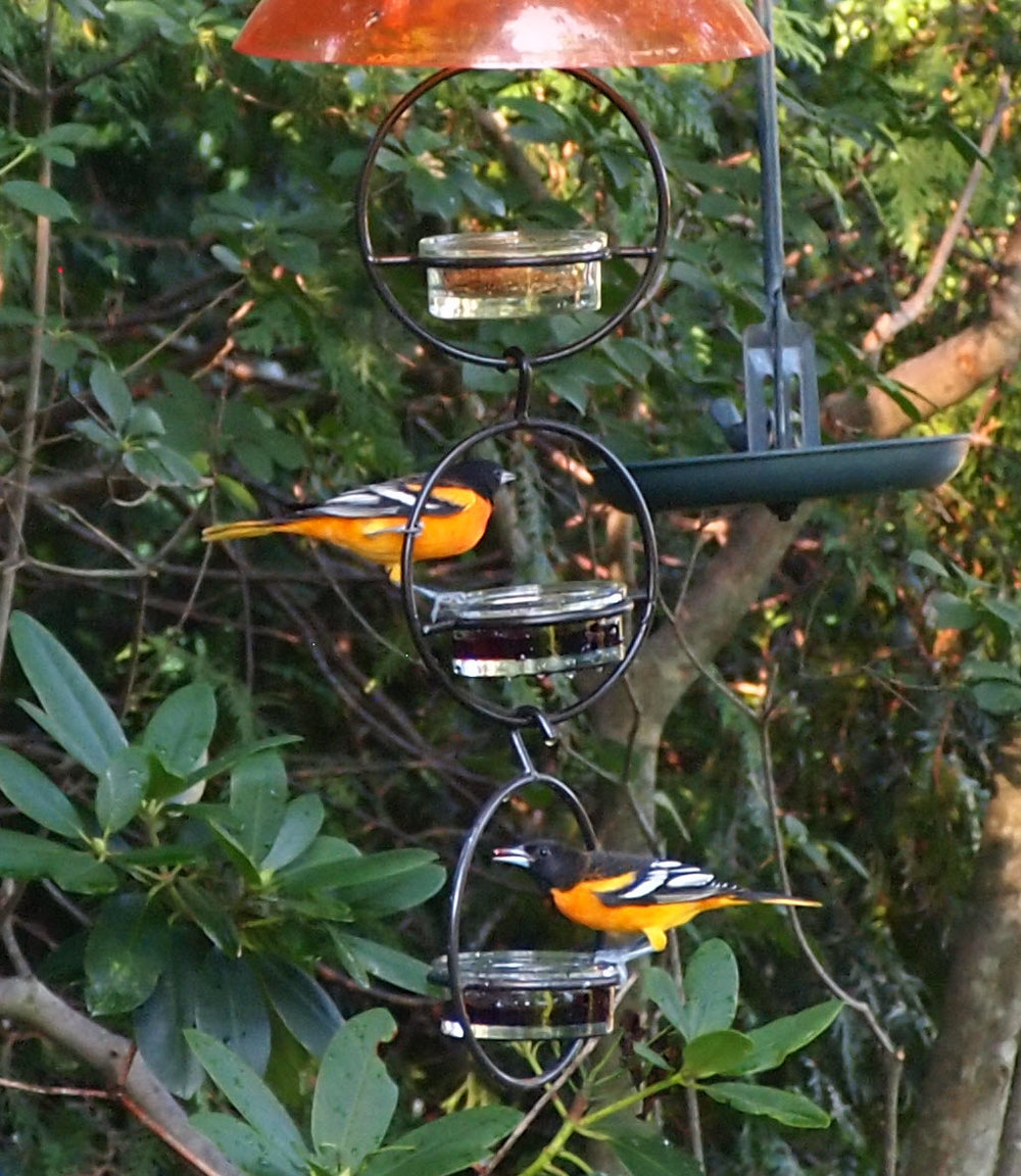 Two male Baltimore Orioles enjoying grape jelly