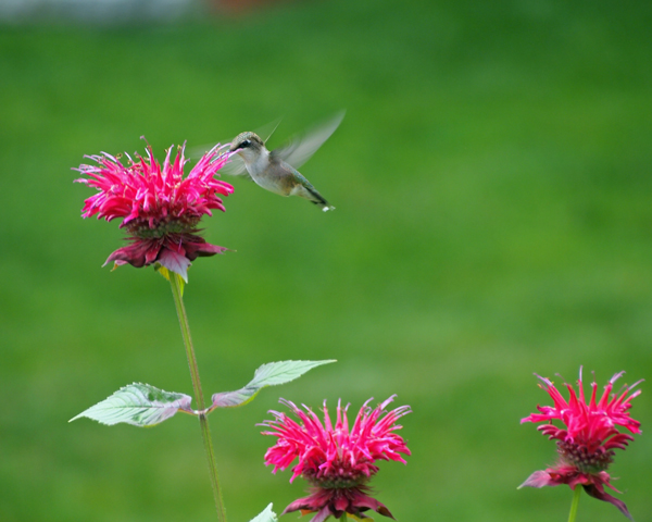 Female ruby-throated on monarda/bee balm