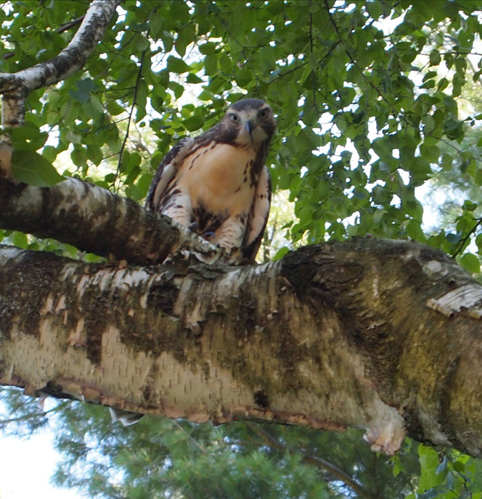 Red tail hawk's favorite perch in the birch tree