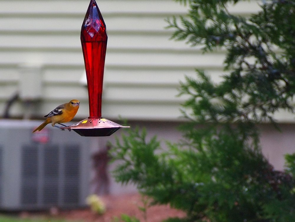 Female Baltimore Oriole checks out the hummingbird feeder