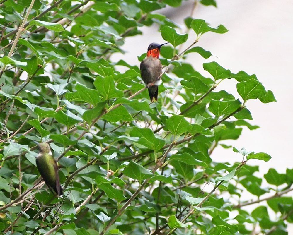 Male ruby-throated protects his territory. Female hummingbird rests a bit below him in the Korean Lilac tree.