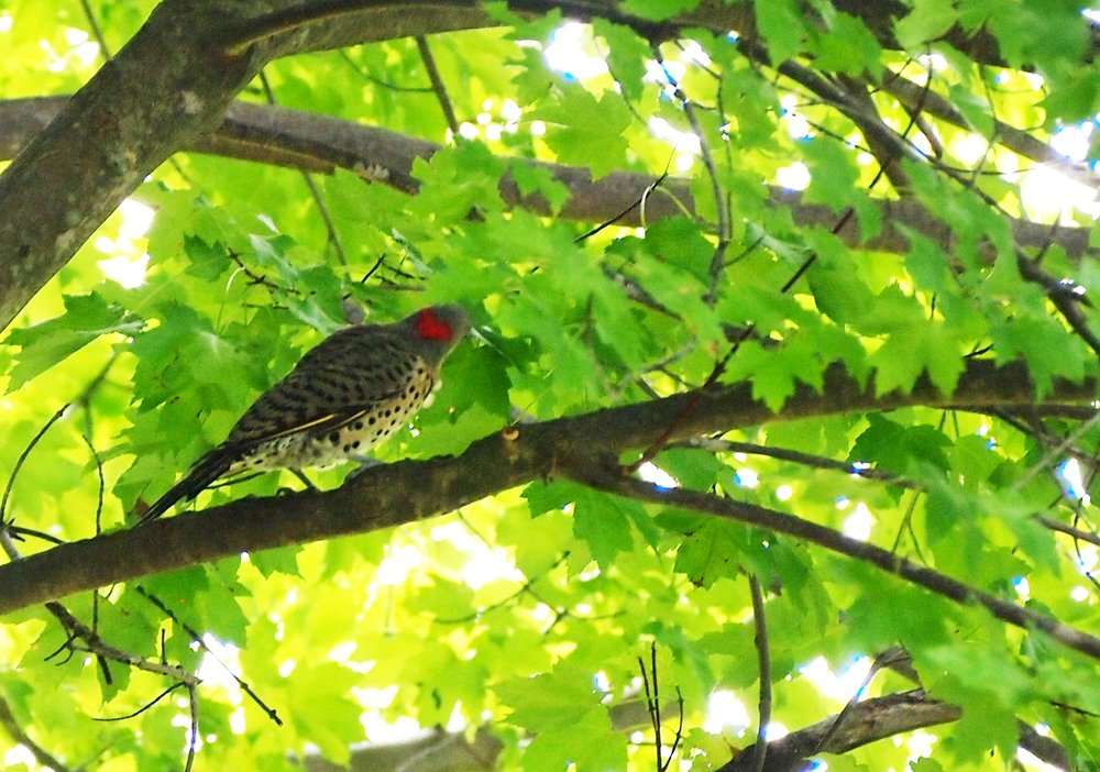 Northern flicker in maple tree