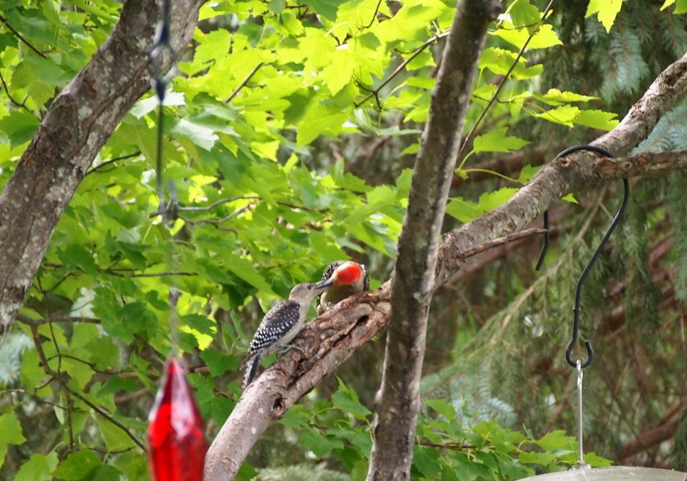 Red-bellied woodpecker feeds her fledgling peanuts from the nearby feeder