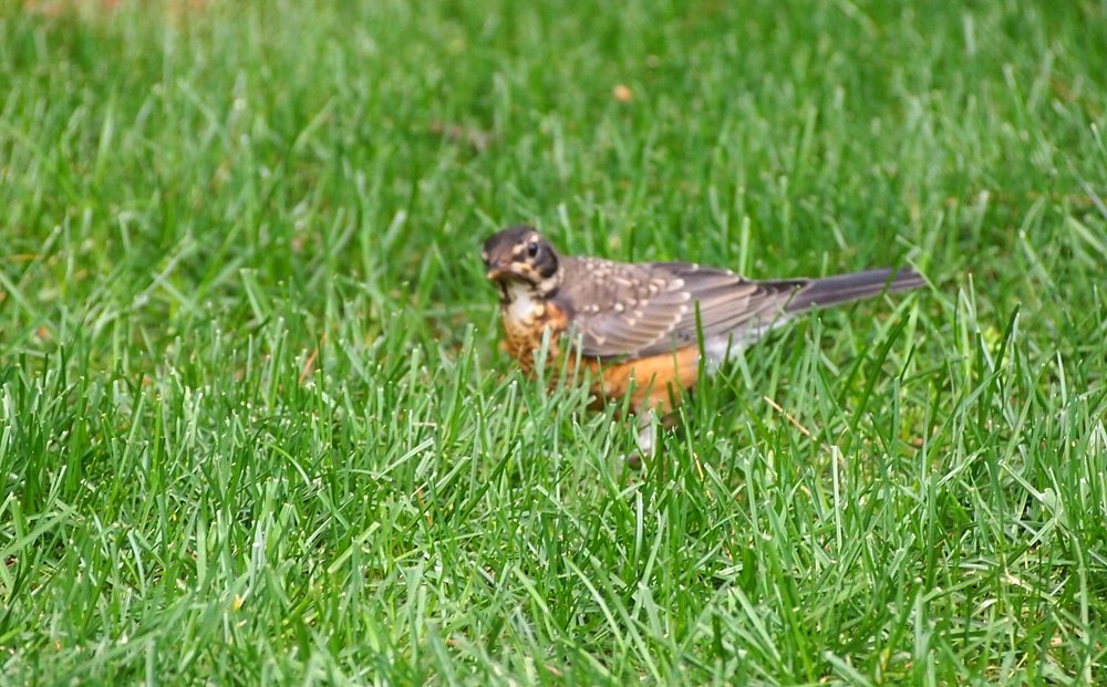 Robin feeding on worms in our lawn