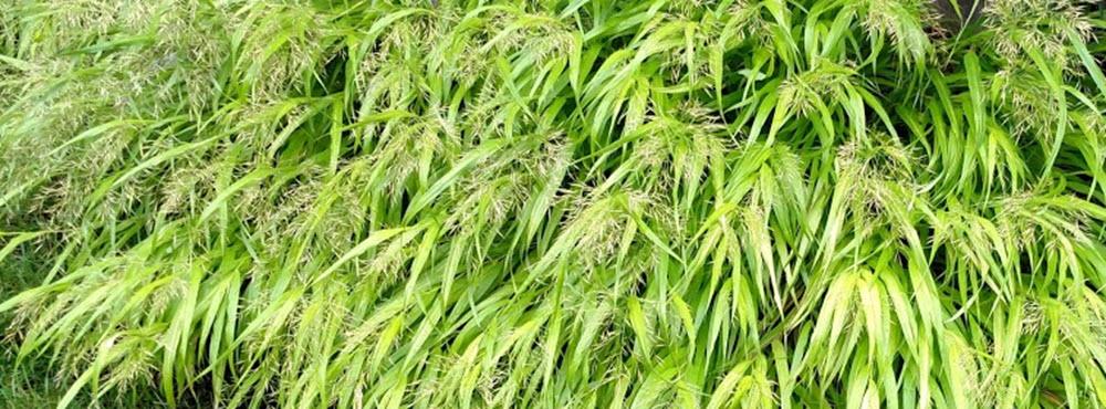 grass-hakonechloa-allgold-crop-1000.jpg