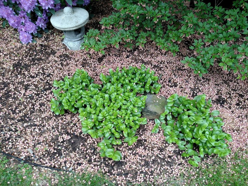 Dwarf solomon's seal groundcover on May 30, surrounded by the dropped blossoms of the red-veined enkianthus above