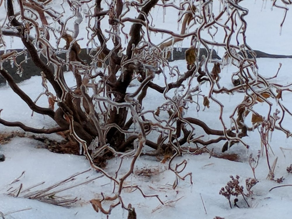 Harry Lauder Walking Stick after ice storm