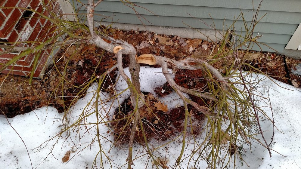 Japanese Maple winter snow damage