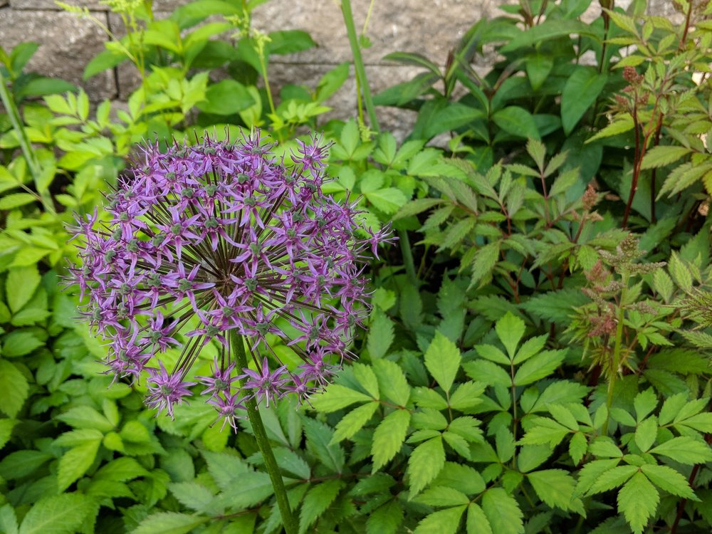 June 11, Purple Sensation allium closeup