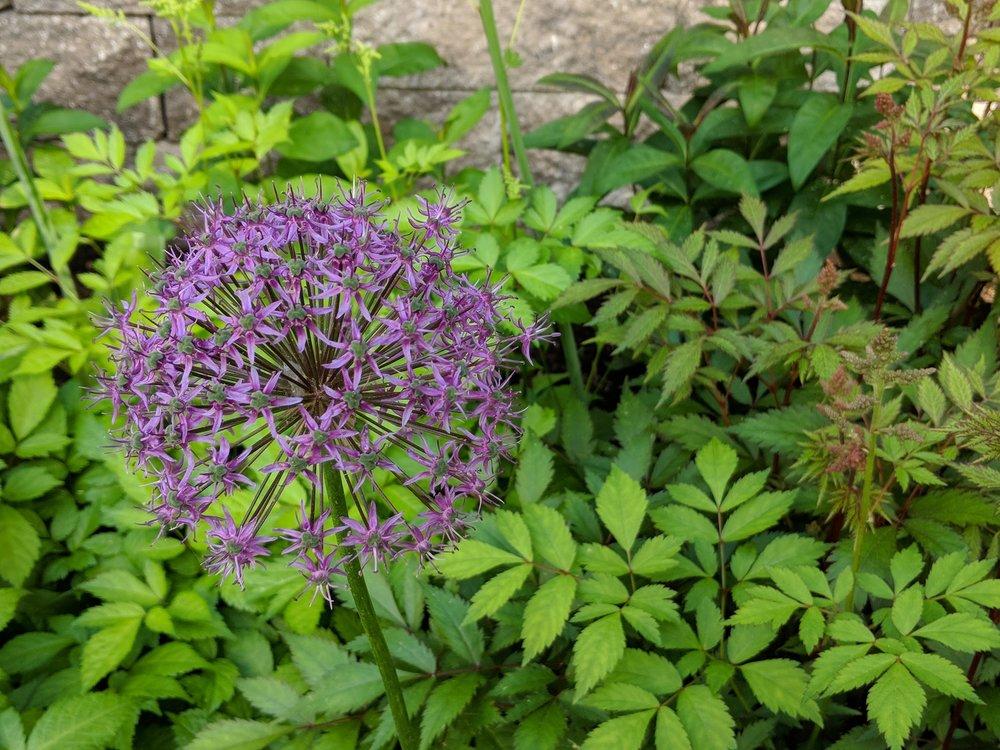 June 11, Purple Sensation allium closeup